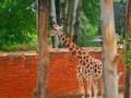 Žirafka nevyvedená z klidu...